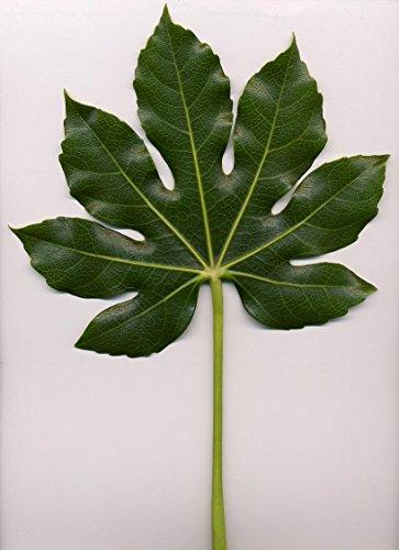 10 japonais Fatsi Arbuste Fleur Paperplant Fatsia Aralia du Japon Graines