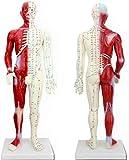 HaoLi Modelo de Montaje Modelo de acupuntura Humana de 60 cm con la anatomía Muscular - para los acupunturistas y Otros Profesionales de la Salud