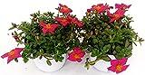PORTULACA ROSA INTENSO, 2 PIANTE, piante vere