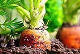 250 Graines de Carotte Nantaise - légumes jardin potager méthode BIO