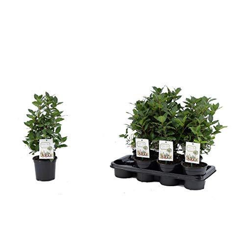 echter Gewürzlorbeer - Laurus nobilis 40 cm Busch
