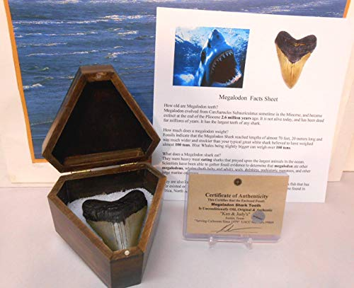 Genuine Large Megalodon Fossil Shark Tooth in Collector