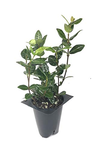 Asiatic Jasmine Minima - 60 Live Plants - Asian Ground Cover Fully Rooted with Soil - Trachelospermum Asiaticum