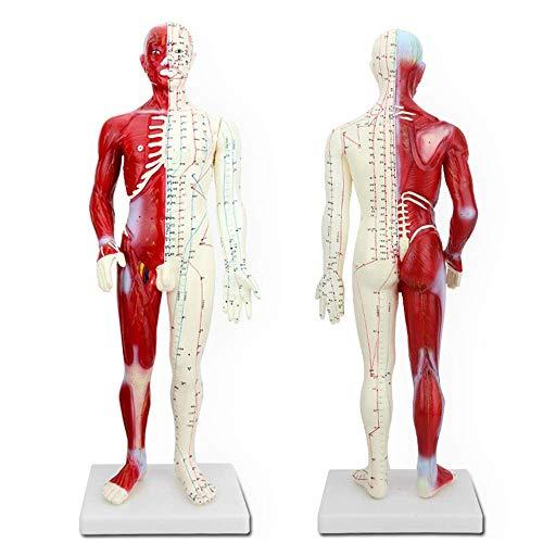WangXN 60cm mannelijke acupunctuur-anatomie voorbeeldige menselijke meridian-punt-spier-anatomie voor de wetenschap-studie-weergave-onderwijzers