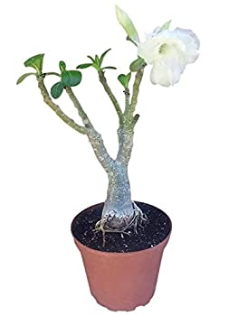 9GreenBox - White Angel Desert Rose Live Plant Ornament Decor for Home Kitchen Office Table Desk - Attracts Zen Luck Good Fortune - Non-GMO Grown in The USA