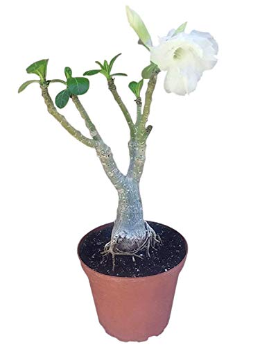 9GreenBox - White Angel Desert Rose Live Plant Ornament Decor for Home, Kitchen, Office, Table, Desk - Attracts Zen, Luck, Good Fortune - Non-GMO, Grown in The USA