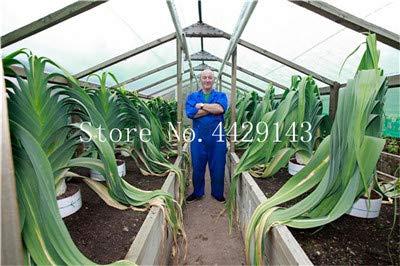 Bloom Green Co. 100 pcs Semillas de puerro verde gigante de ajo (Allium tricoccum) Mejoran la inmunidad Semillas de hortalizas Semillas de alimentos saludables: Amarillo