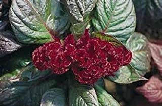 Toyensnow - Red Crested Cockscomb Seeds Annual Celosia Argentea Ornemental Flower (50 Seeds)