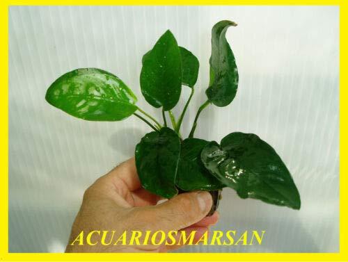 Desconocido Planta DE Acuario ANUBIA BARTERI
