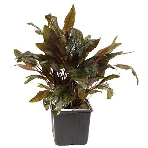 Tropica Mutterpflanze Aquariumpflanze Cryptocoryne wendtii XL Nr.109E Wasserpflanzen Aquarium Aquariumpflanzen