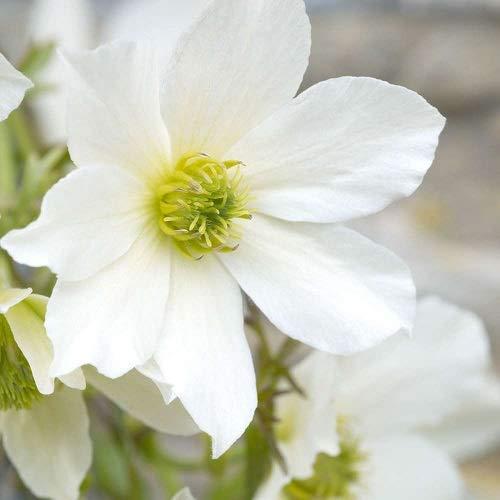 3 x Clematis Early Sensation (Immergrün. Mehrjährig und Winterhart) Kletterpflanze | 3 Kaufen / 2 Zahlen - Weiß - 3 x 1,5 Liter Topfen | ClematisOnline Kletterpflanzen
