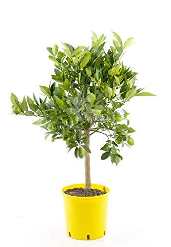 Italienische Limequat Eustis 80 cm - Citrus x floridana