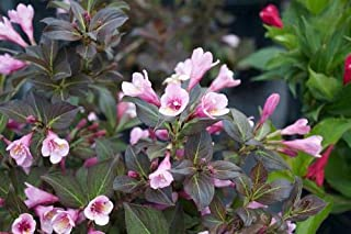 SmartMe Live Plant - Java Red Weigela - Established Rooted - 1 Plant in 1 Gallon Trade Pot