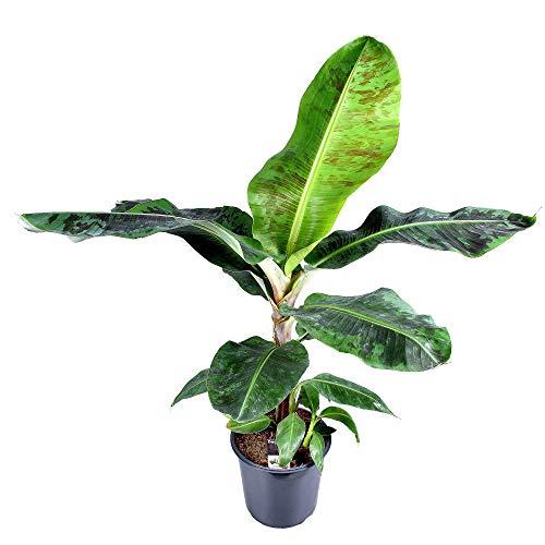 Musa Dwarf Cavendish XL | Pianta di banana | Altezza 80-90 cm | Vaso Ø 21 cm