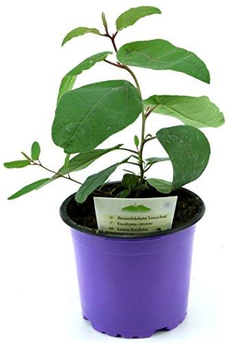 Zitroneneukalyptus, Eucalyptus citridora, Zitronen Eukalyptus Pflanze, Duftpflanze