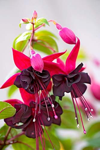 Bloom Green Co. GGG Fuchsia, Fuchsia Samen, Blumensamen Fuchsien - 100st: Mehrfarbig