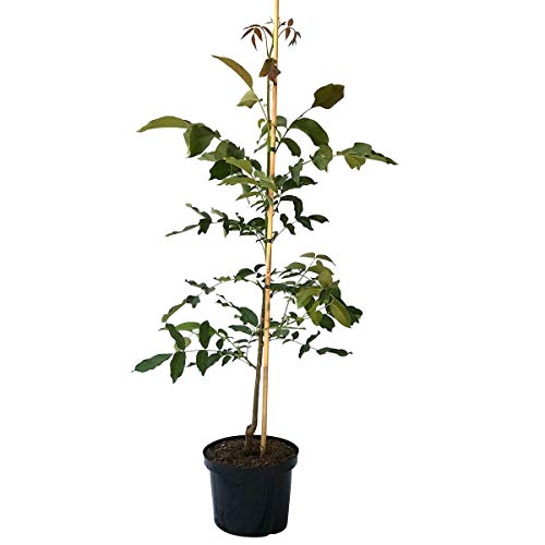 Müllers Grüner Garten Shop Walnussbaum als Sämling, besonders kräftig und robust, groß werdender Baum 120-170 cm, 10 Liter Topf