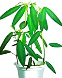 Tanzende Baumsamen 10+ Tanzende Graspflanzensamenblätter bewegen sich tatsächlich (Codariocalyx...