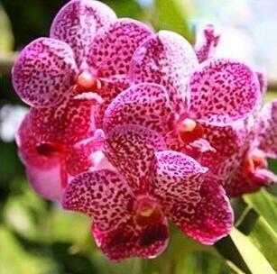 10pcs/lot papillon graines d'orchidées, fleurs d'intérieur bonsaï quatre saisons, Phalaenopsis Orchidées jardin maison 9