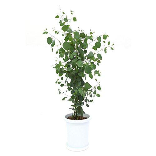 ユーカリ・ポポラス(ポリアンセモス)中型8号 鉢植え プラ鉢入り