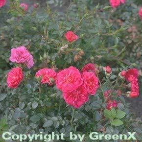 Hochstamm Rose Knirps 80-100cm