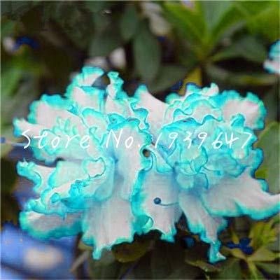 HONIC 100 pcs/Sac bonsaïs Japonais azalée, Rhododendron azalées, Fleur, Arbre Bonsai Jardin Bricolage Maison de Plantes en Pot décoration Facile à cultiver: 16