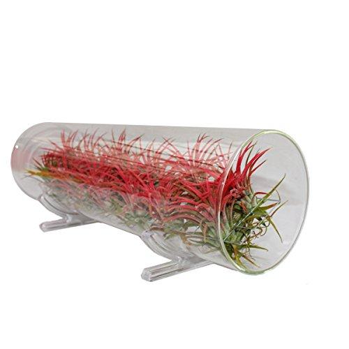 Exotenherz - Tillandsien-Arrangement, 12 rote Pflanzen in der Glasröhre