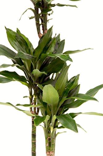 Drachenbaum, Dracaena deremensis Janet Craig, Zimmerpflanze in Hydrokultur, 18/19er Kulturtopf, 80-100 cm