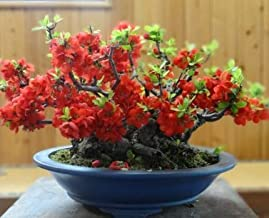 Seeds Chaenomeles Japonica Cold Hardy Bonsai Red Japanese Quince Shrub Fresh Seeds Easy Grow AB007 (100 Seeds)