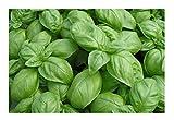 "Premier Seeds Direct 9K-M2UV-C56N Herber Basilikum ""Genovese"" feinste Samen (Packung mit 3000)"