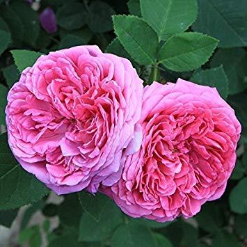 SANHOC Semi Pacchetto: Adb INC Heirloom Rosa Damasco Roseflower Seeds