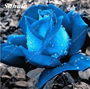 100 PC/Beutel Rare Farbe Rosen-Samen im Freien Blumensamen Staudenblumen Samen Topfpflanze für Hausgarten-Dekor-1