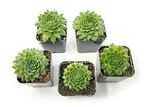 Fractal Succulents(5 Pack) Live Sempervivum Houseleek SucculentRooted in Pots | Flowering Plant...