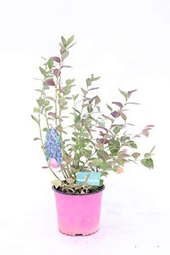 pianta di Mirtillo gigante dolce americano o vaccinium corymbosum v17 pianta da frutta frutti di bosco