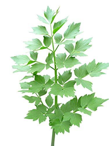 Liebstöckel, Maggikraut -Levisticum officinale- 50 Samen