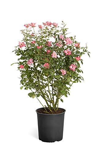 Double Pink Knock Out Rose - 2 Gallon Shrub - Developed Plants for...