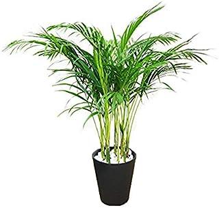 アレカヤシ 観葉植物 ブラックセラアート鉢 ヤシの木 日陰や寒さに強い やしの木 インテリア
