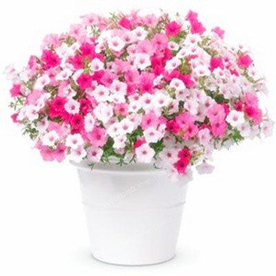 Escalade Pétunia Graines de fleurs Jardin Bonsai Balcon Petunia hybrida semences de fleurs de 20 espèces végétales Bonsai facile à cultiver 100 Pcs 12