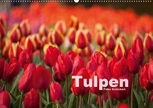 Tulpen (Wandkalender 2021 DIN A2 quer)