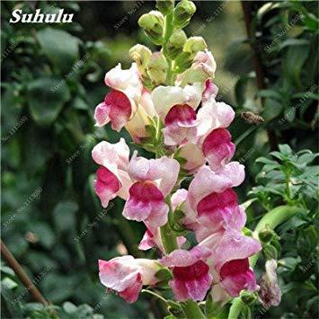 VISTARIC 17: Double Dahlia Seed Mini Mary Fleurs Graines Bonsai Plante en pot bricolage jardin odorant Fleur, croissance naturelle de haute qualité 50 Pcs 17