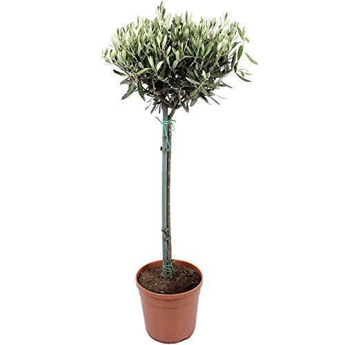 Olivo Copa Árbol de Interior y Exterior Altura Aproximada 80-100cm Árbol Ornamental Olea Europaea