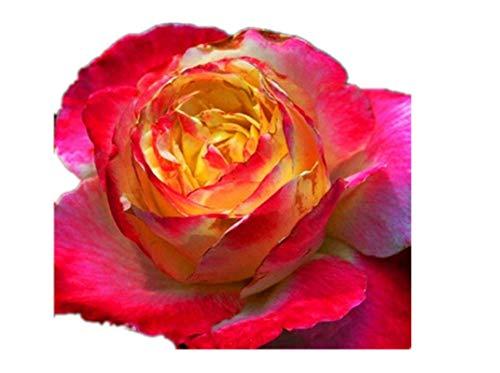 KINGDUO Egrow 100Pcs/Pack Rare Rose Graines Jardin Balcon Bonsaï en Pot Fleurs Plantes Graines-3