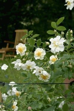 'Lykkefund', Ramblerrose im Rosen-Container