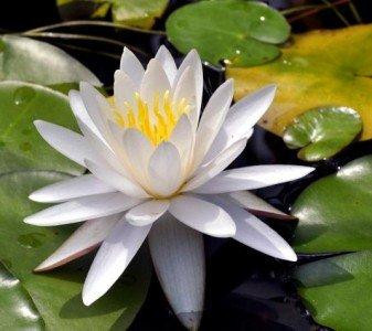 Weiße Seerose 10 Samen (Nymphaea) Wasserpflanzen