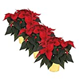 "The Three Company Live Indoor 6"" Poinsettia in Deco Cover (3 Per Pack), Perfect Holiday Plant, Christmas Red"