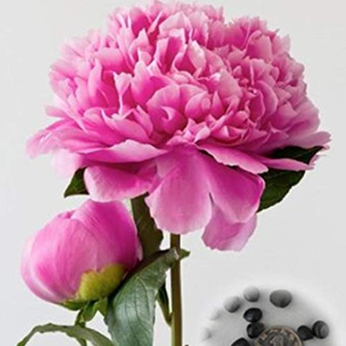 begorey Garten - Mehrjährige Subtropische Pfingstrosen Blumensamen 20 pcs Garten Blumen Samen Bonsaisamen