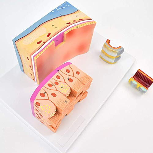 LXX Scientific Anatomisches Modell für den Menschen – Tracheal Wand, anatomisches Modell für Knorpel, Wissenschaftsmodelle, 3-fache Vergrößerung Handmalerei Medizinisches Lern-Werkzeug