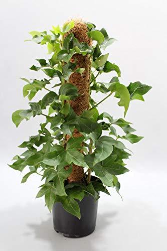 Efeuaralie 40 cm Fatshedera lizei Pia pflegeleichte Zimmerpflanze