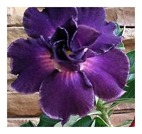 Adenium obesum Royal Purple - Rose du désert - Faux baobab Royal Purple - 3 graines