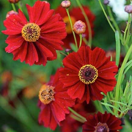 Dwarf Red Coreopsis Plains Flower Seeds,1500+ Premium Quality Seeds,90% Germination,Vibrant Bright Red Color! Exotic Beauty!,(Isla's Garden Seeds),Coreopsis Tinctoria